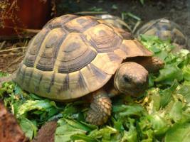 Griechische Landschildkröten abzugeben!!