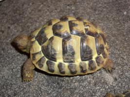 Foto 3 Griecjische Landschildkröte