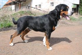 Foto 2 Grosser Schweizer Sennenhund