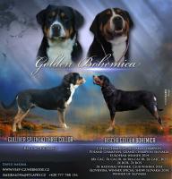 Grosser Schweizer Sennenhund mit FCI Stammbaum