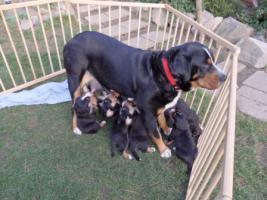 Foto 2 Grosser Schweizer Sennenhund mit Papiere