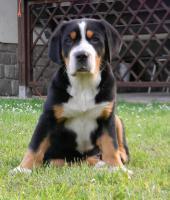 Grosser Schweizer Sennenhund Welpe