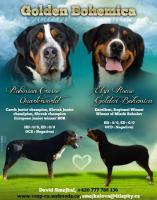 Grosser Schweizer Sennenhund Welpen mit Papiere FCI