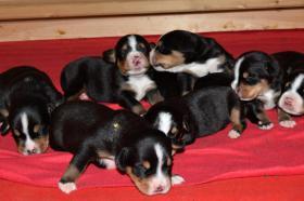 Foto 3 Grosser Schweizer Sennenhund Welpen mit Papiere FCI