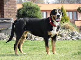 Grosser Schweizer Sennenhund Welpen abzugeben