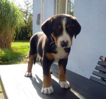 Foto 3 Grosser Schweizer Sennenhund mit reg. FCI