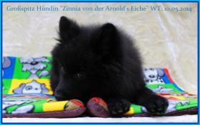 Foto 16 Großspitzhündinwelpe braun, 06331/258619