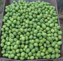 Foto 2 Grüne Walnüsse für Nüssler,  Likör / Schnaps