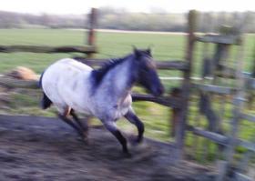 Foto 3 Grullo quarter Horse Hengst Yahooty 3 Bars