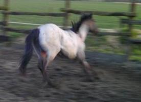 Foto 4 Grullo quarter Horse Hengst Yahooty 3 Bars