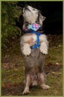 Foto 3 Gustl, männlich, 7 Jahre, 26 cm, 10 kg, Rauhaardackel, gechipt