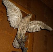 Habicht  Falke Präparat 89cm flügelspann 68cm