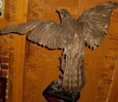 Foto 3 Habicht  Falke Präparat 89cm flügelspann 68cm