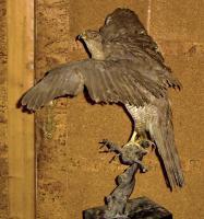 Foto 5 Habicht  Falke Präparat 89cm flügelspann 68cm