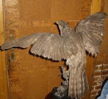 Foto 6 Habicht  Falke Präparat 89cm flügelspann 68cm