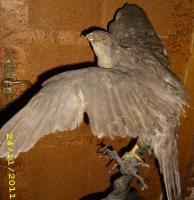 Foto 8 Habicht  Falke Präparat 89cm flügelspann 68cm