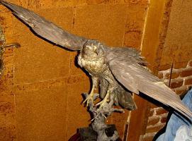 Foto 9 Habicht  Falke Präparat 89cm flügelspann 68cm