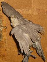 Foto 10 Habicht  Falke Präparat 89cm flügelspann 68cm