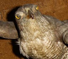 Foto 11 Habicht  Falke Präparat 89cm flügelspann 68cm