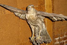 Foto 13 Habicht  Falke Präparat 89cm flügelspann 68cm