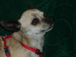Foto 3 Hallo ich bin Monti, ein Reinrassiger Kurzhaar Chihuahua Rüde