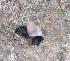 Hamsterbabys aus Hobbyzucht abzugeben