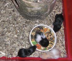 Foto 5 Hamsterbabys aus Hobbyzucht abzugeben