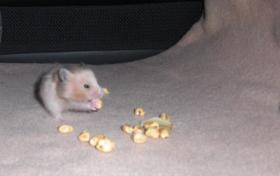 Foto 6 Hamsterbabys aus Hobbyzucht abzugeben