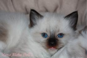 Foto 2 Hana Aloha Doll's Kitten