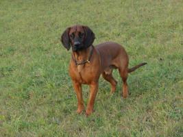 Hannoverscher-Schweißhund-Deckrüde vom Zwinger ''''vom Tannenstück''''