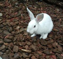Hase ( Weiß ) kein Albino
