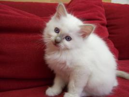 Foto 2 Heilige Birma Kitten