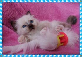 Heilige Birma Kitten von Oldima aus NRW