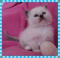 Foto 2 Heilige Birma Kitten von Oldima aus NRW