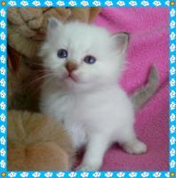 Foto 4 Heilige Birma Kitten von Oldima aus NRW