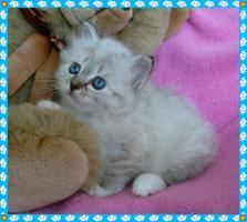 Foto 6 Heilige Birma Kitten von Oldima aus NRW
