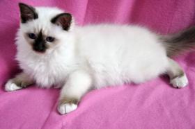 Foto 3 Heilige Birma Kitten, Mädchen, NRW Köln