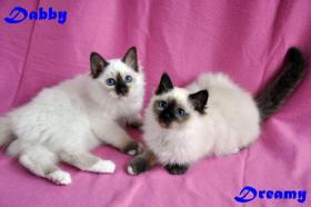 Foto 6 Heilige Birma Kitten, Mädchen, NRW Köln