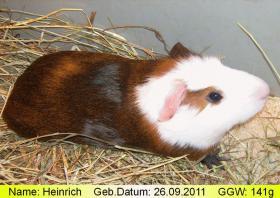 Heinrich, das peruanische Riesenmeerschweinchen (  CUY  )