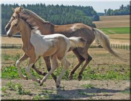 Foto 5 Hengstfohlen - Schecke - Buckskin - Rarität - Fohlen - DRP