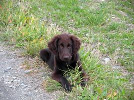 Foto 5 Herzige Flat coated Retriever Welpen in braun