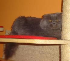 Foto 2 Highland Fold katze sucht dringend neues liebevolle Zuhause