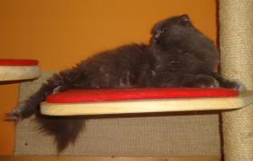 Foto 4 Highland Fold katze sucht dringend neues liebevolle Zuhause
