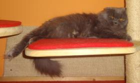 Foto 6 Highland Fold katze sucht dringend neues liebevolle Zuhause