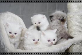 Highlander und BKH Kitten mit blauen Augen