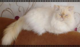 Foto 2 Highlander und BKH Kitten mit blauen Augen