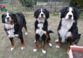 Foto 2 Hobbyzucht für reinrassige Berner Sennenhunde