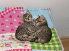 Hobbyzucht vergibt 3 niedliche Katzenbabys F7 SBT (SAVANNAH)