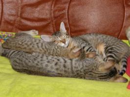 Foto 2 Hobbyzucht vergibt 3 niedliche Katzenbabys F7 SBT (SAVANNAH)