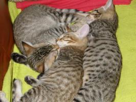 Foto 3 Hobbyzucht vergibt 3 niedliche Katzenbabys F7 SBT (SAVANNAH)